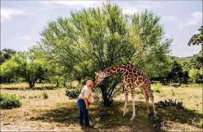 ?? Photos by New York Times ?? Buck Watson, a guide at the Ox Ranch in Uvalde, Texas, pets Buttercup, who is protected from the hunters that come to the ranch.