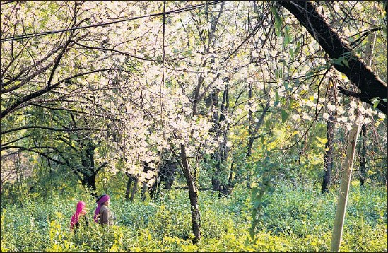 ?? Photographs by Ann Summa ?? CHERRY TREES bloom on the Chandpur Tea Estate in the Kangra Valley of India. The valley was once a candidate to be the summer capital of the British Raj.