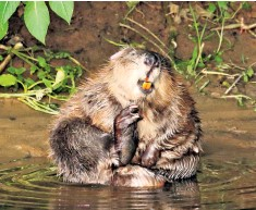 ??  ?? The beaver was hunted to extinction in Britain, but has successfully been reintroduced