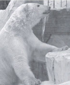 ??  ?? В последнее время, глядя на животное, многие посетители замечали болезненный вид медведя, взгляд грустный, малоактивный, хотя раньше при виде людей он охотно общался через специальное стекло