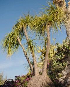 """??  ?? 4 4. Cette succulente, le beaucarnea recurvata, est surnommée """"pied d'éléphant"""". PAGE DE DROITE La vue depuis le jardin construit sur les ruines de l'ancien château d'Èze. Le cactus """"cierge à tête de vieillard"""" sur la droite rappelle qu'autrefois, les botanistes en charge de nommer les plantes pouvaient se laisser aller à quelques fantaisies !"""