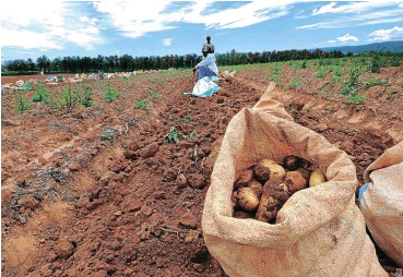 ?? Picture: Judy de Vega ?? Potato farms like this one in the Eastern Cape might have to lay off workers due to tough financial conditions.