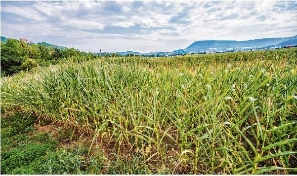 ?? Foto: Giacinto Carlucci ?? Maisanbau, fast bis zum Horizont: Wo jetzt Futter für die Kühe wächst, soll das Gewerbegebiet erschlossen werden.