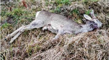 ?? Foto: Heinz Roser ?? Dieses Reh wurde von einem unbekannten Tier östlich von Brachstadt gerissen. Jagdpächter Heinz Roser ist besorgt: Er regis‰ trierte in seinem Revier in den vergangenen Monaten mehrere solche Fälle.