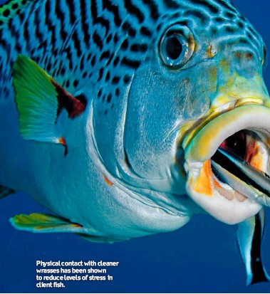??  ?? Physical contact with cleaner wrasses has been shown to reduce levels of stress in client fish.
