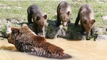 ?? Fotos: Sabine Rock ?? Weil die Bärin mit drei Bärenjungen trächtig war, musste im Winter 2013 der vierjährige Bruder der Kleinen eingeschläfert werden. Für die drei wurden 2016 Plätze in Belgien und Italien gefunden.