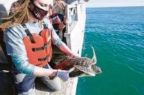 ?? Melissa Phillip / Staff photographer ?? Rhiannon Nechero, a junior at Texas A&M University at Galveston, releases a green sea turtle into the Gulf on Monday.