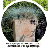 ??  ?? This tall pot planted with blue Festuca glauca is one of six that lights up a dark-green expanse of yew hedging