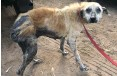 ??  ?? THIS 7-year old Africanis dog was surrendered to Tears last week.