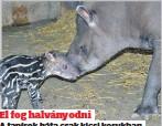 ??  ?? El fog halványodni A tapírok háta csak kicsi korukban csíkos, később egyszínű lesz a szőrük