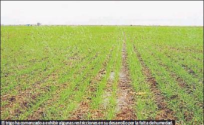 ?? LA VOZ DEL INTERIOR ?? El trigo ha comenzado a exhibir algunas restricciones en su desarrollo por la falta de humedad.