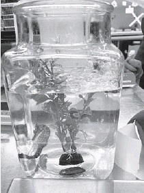 ?? MEDICINE/AP UNIVERSITYOFFLORIDACOLLEGEOFVETERINARY ?? In September, Louie the seahorse's ownerCarol Benge noticed hewas having trouble swimming. She took him to the University of Florida veterinary school where itwas diagnosed with gas bubble disease. The seahorsewas placed in a hyperbaric chamber, and with one treatment, Louiewas cured.