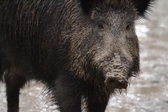 ?? Foto: Pixabay ?? ■ Naturresursinstitutet uppskattar att det fanns ungefär 1 400 vildsvin i januari 2020.