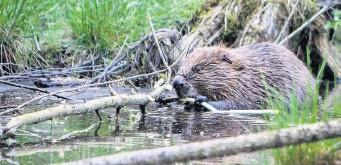 ??  ?? Here fur good Perth now has many resident urban beavers
