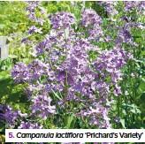 ??  ?? 5. Campanula lactiflora 'Prichard's Variety'