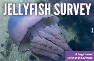 ??  ?? A large barrel jellyfish in Cornwall