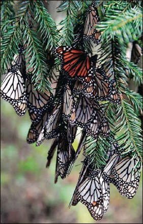?? MARCO UGARTE | Associated Press (2019) ?? Monarch butterflie­s cluster on a tree branch in the Amanalco de Becerra sanctuary, in mountains near the extinct Nevado de Toluca volcano in Mexico. The number of butterflie­s wintering in Central Mexico is down 26 percent this year.