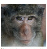 ??  ?? Macaque monkeys are common carriers of the monkey B virus