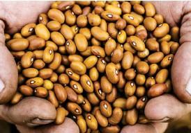 ??  ?? HAR FÅTT SÄLLSKAP. För fem år sedan var bruna bönor de enda bönorna som odlades i Sverige. Nu finns ytterligare en handfull svenskodlade sorter på marknaden