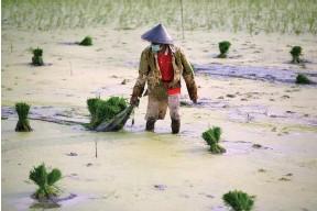 ?? צילום: רויטרס ?? חקלאי עובד בשדות האורז עם מסיכה להגנה מפני הקורונה. ג'קרטה, אינדונזיה