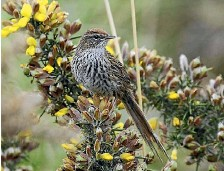 ??  ?? Twenty-five fernbirds – named for their distinctive ragged tail – were released at Pauatahanui Wildlife Reserve by Conservation Department rangers last week.