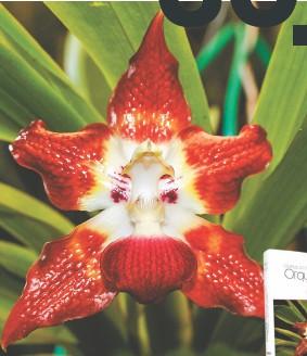 ??  ?? Huntleya grandiflora Cristina, fotografiada por primera vez después del registro original realizado hace más 160 años.