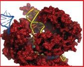 ??  ?? CRISPR-komplexet fungerar som en sax som klipper DNA.