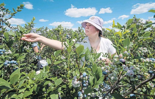 ?? MATHEW MCCARTHY WATERLOO REGION RECORD ?? Maggie Walch of TNT Berries picks blueberries at her family's farm in Shakespeare. Her family, the owners, have seen more berries on their plants than last year.
