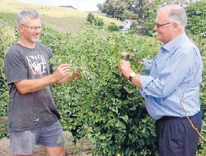 ??  ?? Not so healthy: Central Hawke's Bay ginkgo grower Stu Garner, left, discusses his crop with Nature Green director John Knight.