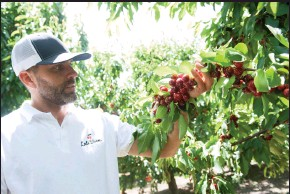 "?? BEA AHBECK/NEWS-SENTINEL ?? James Chinchiolo, owner of Lodi Blooms, a new ""you pick"" venture, shows a branch full of ripe cherries at the orchard in Lodi on Wednesday. The business will open Friday."