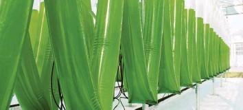 ?? Foto: Novagreen Projektmanagement GmbH ?? In langen Plastikschläuchen reifen die Chlorella-Algen in den Gewächshäusern des Gartenbaubetriebes Cordes heran, bevor sie in große Becken gegeben werden, in denen sie bis zur Ernte heranwachsen.