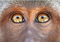 ?? Foto: Alamy Stock ?? Augen auf: Dieses Tier ist ganz Javaneraffe (Makake).