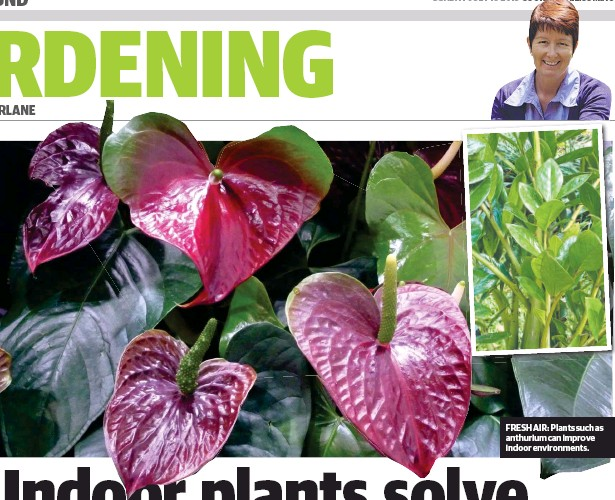 ??  ?? FRESH AIR: Plants such as anthurium can improve indoor environments.
