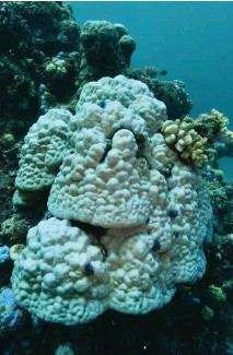 ??  ?? Mas­sive Porites corals, such as this, which can live for many hun­dreds of years and grow as big as cars, usu­ally sur­vive bleach­ing, al­though this one in the north­ern GBR was hit dur­ing the 2016 event.