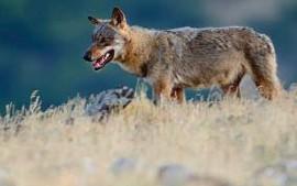 ?? FOTO AFP ?? De maatregel geldt alleen voor gronden die omheind worden in het risicogebied van de wolf.