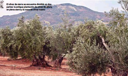 ??  ?? El olivar de sierra se encuentra dividido en dos partes: la antigua plantación de olivar de altura en plena sierra y la zona de olivar nuevo.