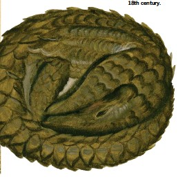 ??  ?? Below: a European traveller's drawing of a pangolin from the 18th century.