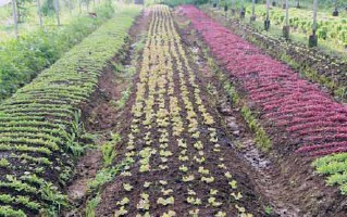 ??  ?? The different varieties of lettuce which can be harvested by visitors to the farm.