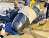 ??  ?? Vått håndkle Over 50 av hvalene som strandet i Tasmania i forrige uke, ble reddet.