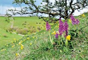 ??  ?? i Early purple orchids (Orchis mascula) and cowslips (Primula veris) flowering on a slope in the Derbyshire Dales