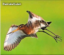 ??  ?? Black-tailed Godwit