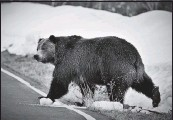 ?? U.S. FISH AND WILDLIFE SERVICE ?? In the past decade, Grizzly populations have grown in Yellowstone National Park and in Glacier National Park.