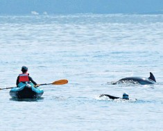 ??  ?? A family was pictured in Cardigan Bay trying to get very close to a dolphin and her calf