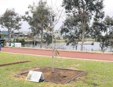 ??  ?? The Ginkgo Biloba tree in Cockburn Central.