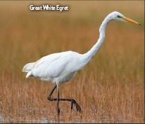 ??  ?? Great White Egret