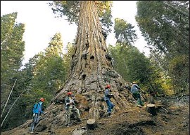 """?? Al Seib Los Angeles Times ?? A GROUP tours the the 3,000-year-old Stagg, the fifth-largest giant sequoia on record, after it survived a wildfire. Current flames are a """"threat"""" to the trees."""