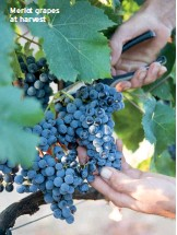 ??  ?? Merlot grapes at harvest