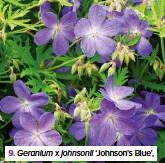 ??  ?? 9. Geranium x johnsonii 'Johnson's Blue',