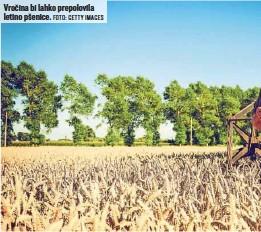 ?? FOTO: GETTY IMAGES ?? Vročina bi lahko prepolovila letino pšenice.