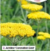 ??  ?? 2. Achillea 'Coronation Gold'